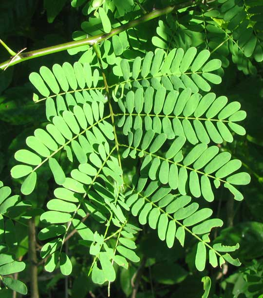 ACACIA GAUMERI, leaf