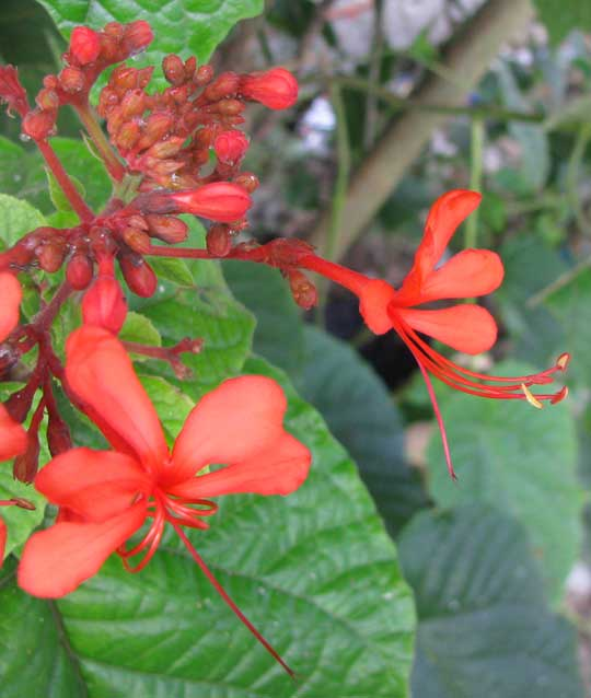 Java Glorybower, CLERODENDRUM SPECIOSISSIMUM, flowers
