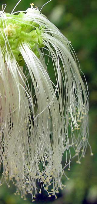 Angel-hair Calliandra, CALLIANDRA cf. CAPILLATA, close-up of flowers