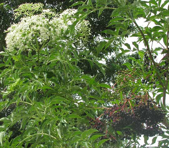 Mexican Elder, SAMBUCUS MEXICANA, flowers and fruits