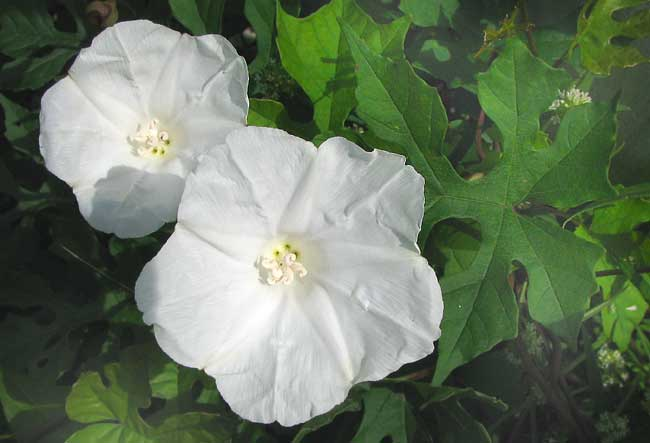 OPERCULINA PINNATIFIDA, a white morning-glory
