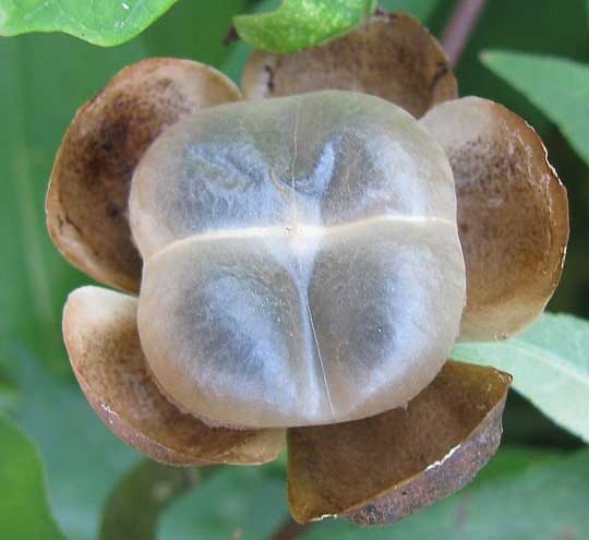OPERCULINA PINNATIFIDA, a white morning-glory, its bladdery fruit