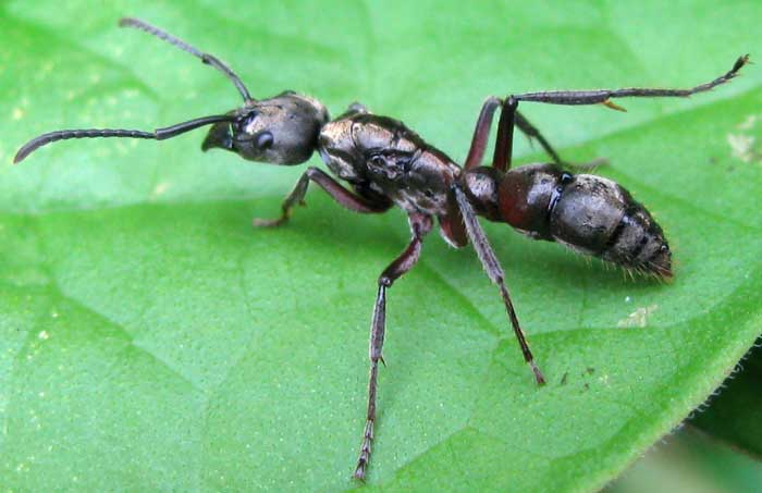 Hairy Panther Ant, PACHYCONDYLA VILLOSA