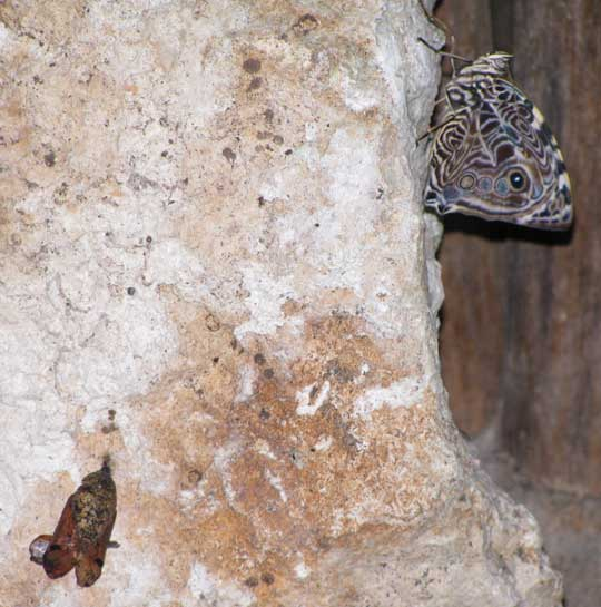 Blomfild's Beauty, SMYRNA BLOMFILDIA, newly emerged female beside abandoned chrysalis shell