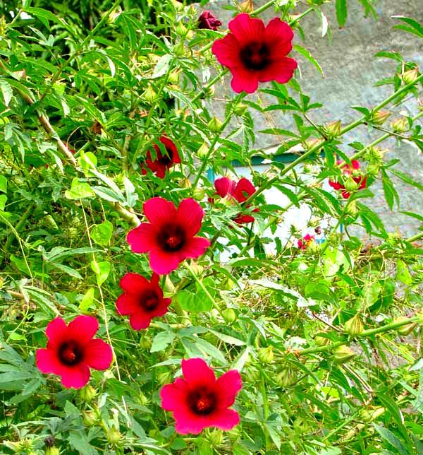 Kenaf Hibiscus Cannabinus