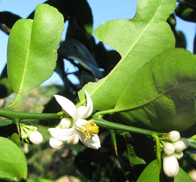 Mexican or Key Lime, CITRUS AURANTIFOLIA, flowers, leaves and spines