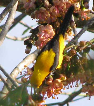 Yellow-backed Oriole, ICTERUS CHRYSATER ssp MAYENSIS
