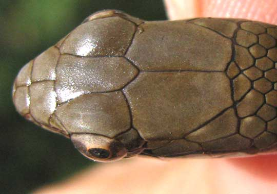 Middle American Smooth-scaled Racer, Dryadophis melanolomus, head scales