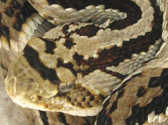 Neotropical Rattlesnake, CROTALUS DURISSUS, head scales