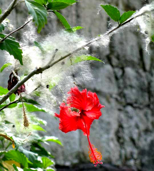 Ceiba, CEIBA PENTANDRA, fruit fuzz on hibiscus flower