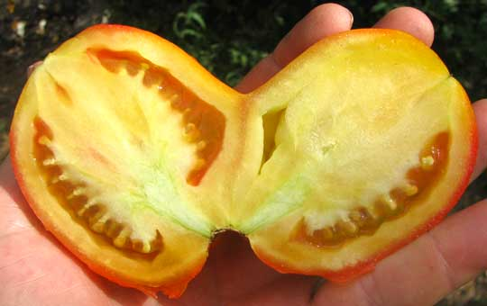 "SIAMESE-TWIN TOMATO, an example of ""fasciation,"" cross section"