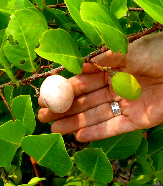 Icaco or Cocoplum. CHRYSOBALANUS ICACO, fruits