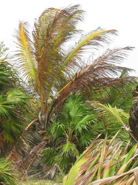 Coconut Palm dying of Lethal Yellowing Disease in Sian Ka'an