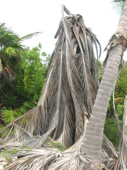 Coconut Palm killed by weevil grubs tunneling through center of palm weakened by Lethal Yellowing Disease in Sian Ka'an