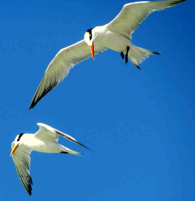 Royal Terns, STERNA MAXIMA, winter plumage