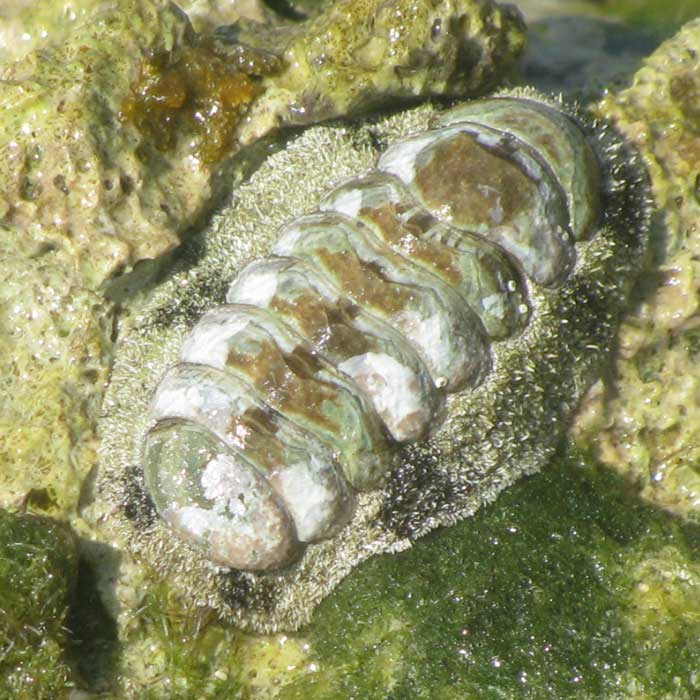 West Indian Fuzzy Chiton, ACANTHOPLEURA GRANULATA