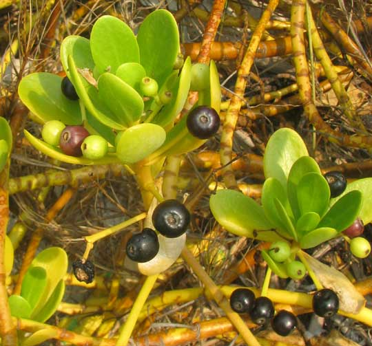 Gullfeed or Beach Berry, SCAEVOLA PLUMIERI, fruits and leaves
