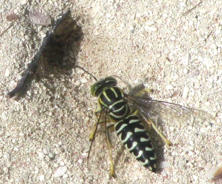 Sand wasp, a member of the Bembicini tribe of crabronid wasps