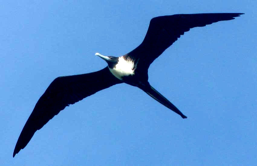 Female Magnificent Frigatebird, FREGATA MAGNIFICENS