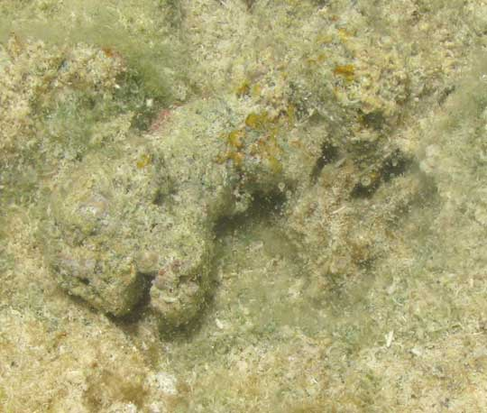 Decorator Crab, camouflaged