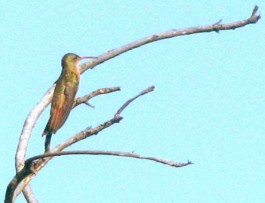 Green-breasted Mango, ANTHRACOTHORAX PREVOSTII, immature