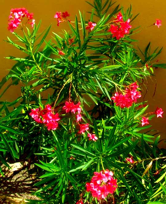 oleander nerium oleander. Black Bedroom Furniture Sets. Home Design Ideas