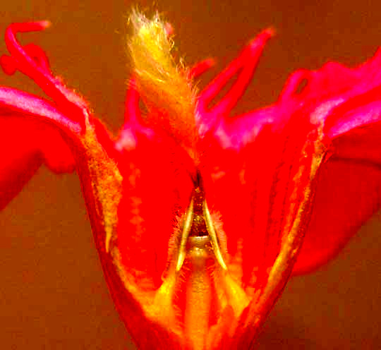 Oleander, NERIUM OLEANDER, flower longitudinal section showing anther appendages and stigma head