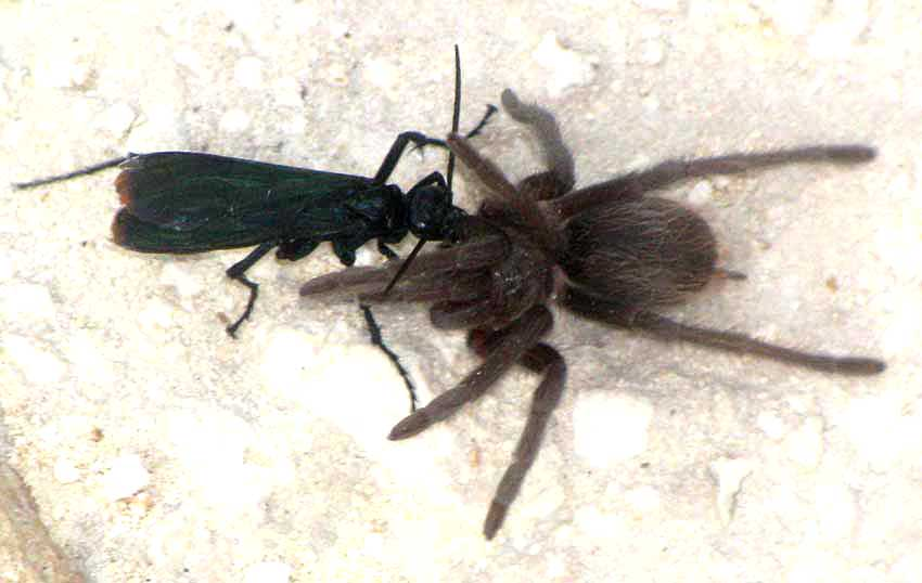 Mexican Tarantula Hawk, PEPSIS MEXICANA, tugging on tarantua