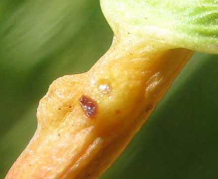 glands on petiole of White Mangrove, LAGUNCULARIA RACEMOSA