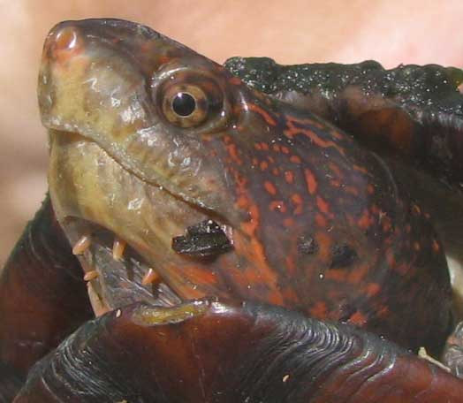 Red-cheeked Mud Turtle, KINOSTERNON SCORPIOIDES, face with barbels below