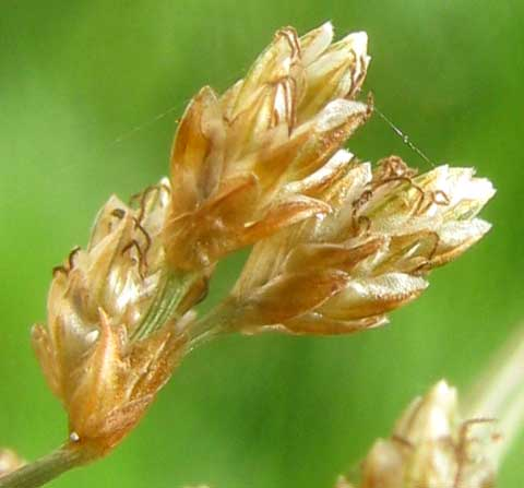 spikelets of Hurricane-Grass or Tropical Fimbry, FIMBRISTYLIS CYMOSA