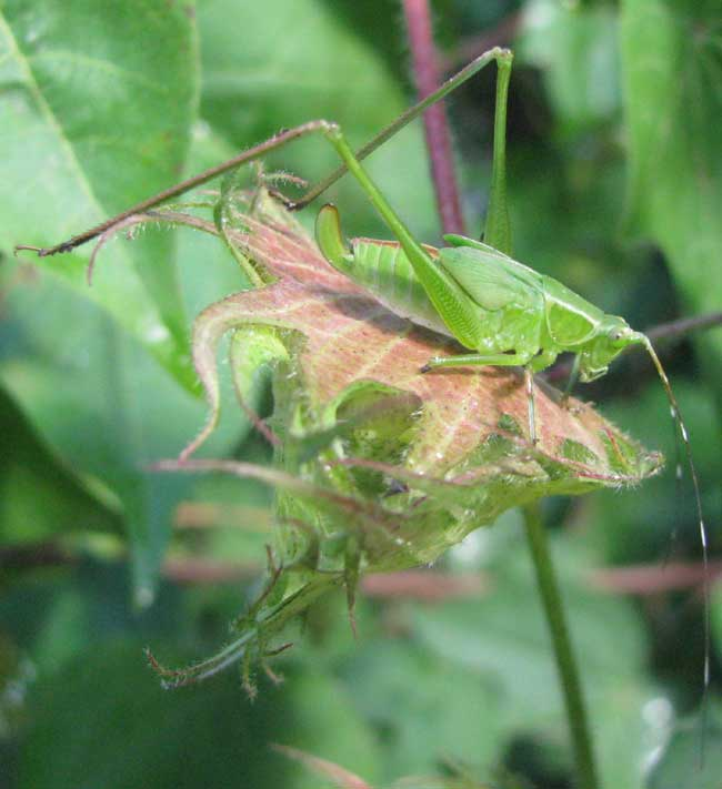 Anglewing Katydid nymph
