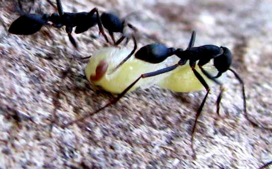 ants carrying wasp pupae