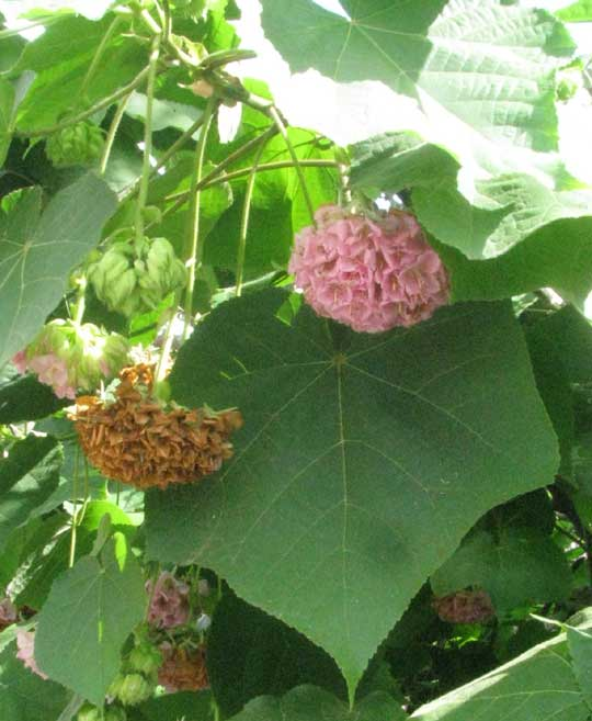 DOMBEYA WALLICHII, leaves and flowers