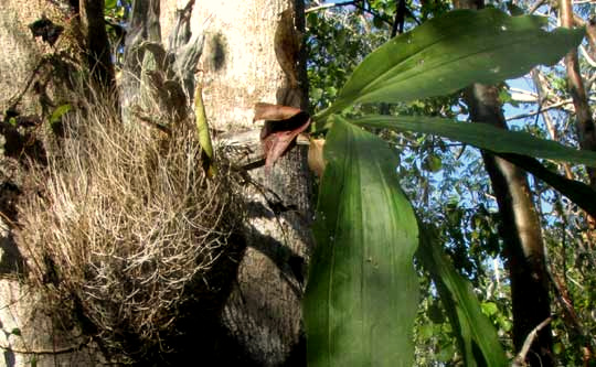 white roots, or velamen, on Catasetum integerrimum