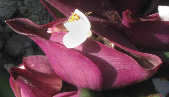 Boat Lily, TRADESCANTIA SPATHACEA, flowers showing arising from boatlike bracts