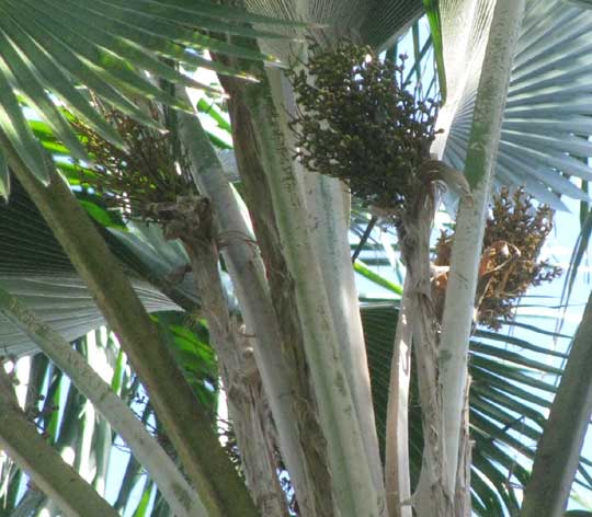 Fiji Fan Palm, PRITCHARDIA PACIFICA, fruiting clusters