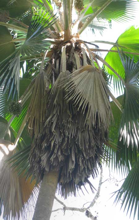 Fiji Fan Palm, PRITCHARDIA PACIFICA, showing shag skirt formed  by old fronds