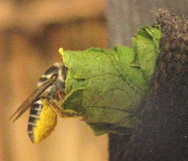 Leafcutter Bee Genus MEGACHILE Entering Leaf Nest Howing Pollen Covered Lower Abdomen