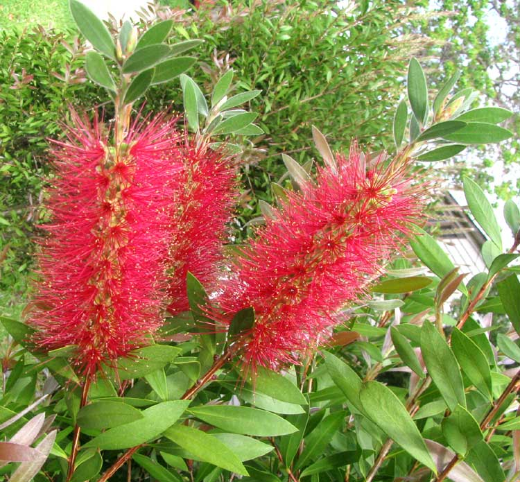 Red bottlebrush callistemon citrinus red bottlebrush callistemon citrinus flowers and leaves mightylinksfo