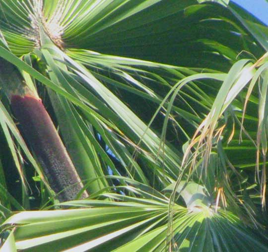 Broom Palm, THRINAX PARVIFLORA, blade showing hastula