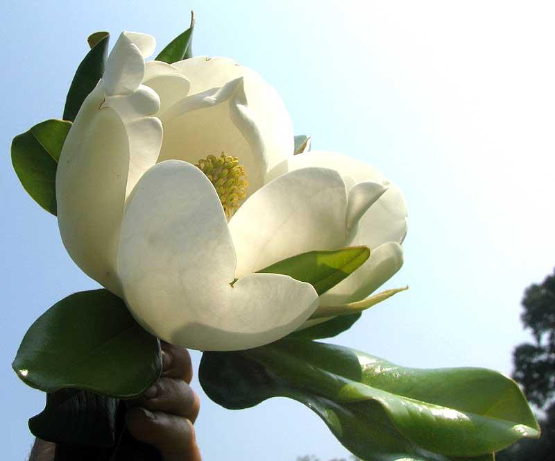 Чем пахнет цветок магнолия