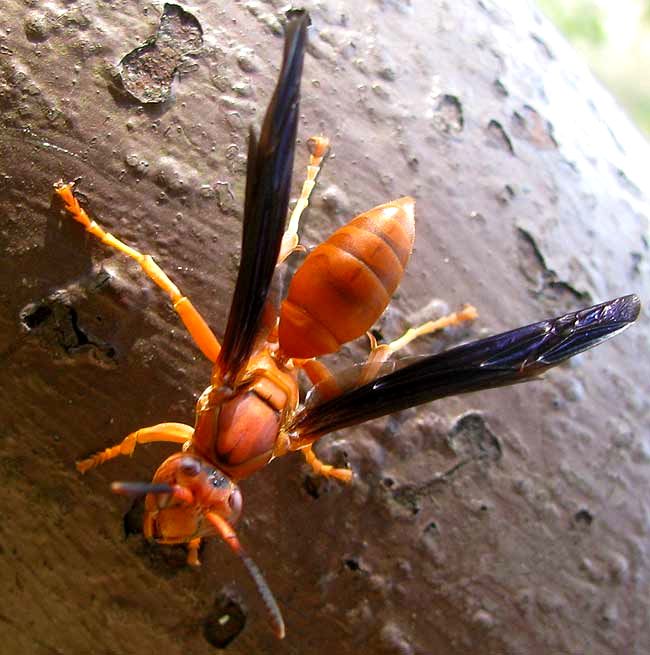 red wasp polistes cf perplexus