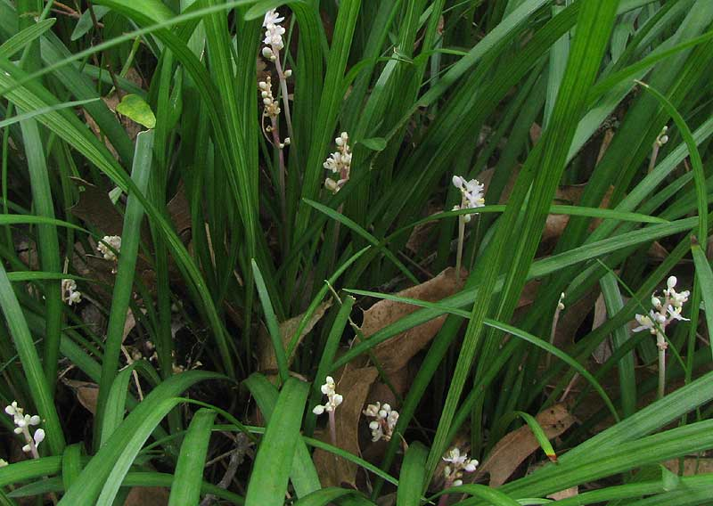 Lily turf liriope sp mightylinksfo