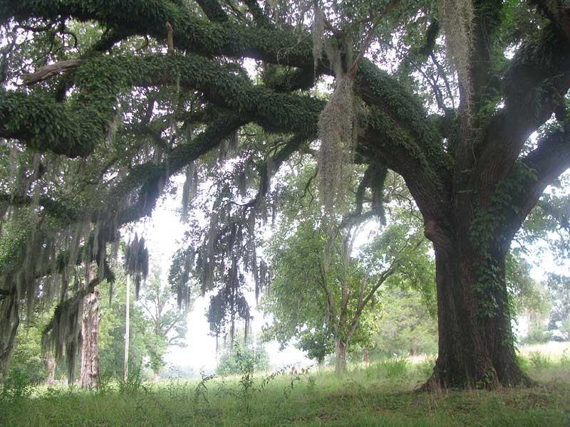 Quercus Laurifolia Leaf Live Oak  QUERCUS VIRGINIANA