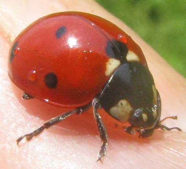 Seven-spotted Ladybug, COCCINELLA SEPTEMPUNCTATA