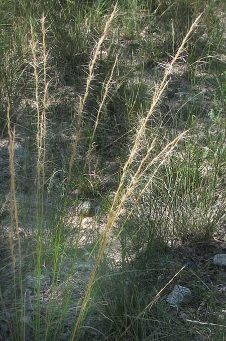 Purple Three-awn Grass, ARISTIDA PURPUREA