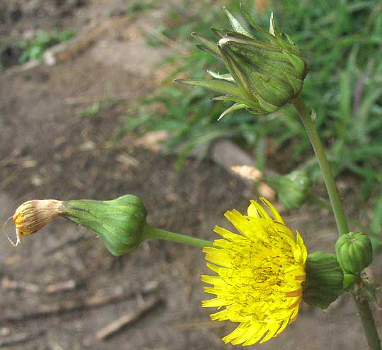Prickly sow thistle sonchus asper prickly sow thistle sonchus asper flower head mightylinksfo