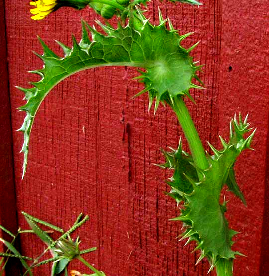 Prickly Sow Thistle Sonchus Asper