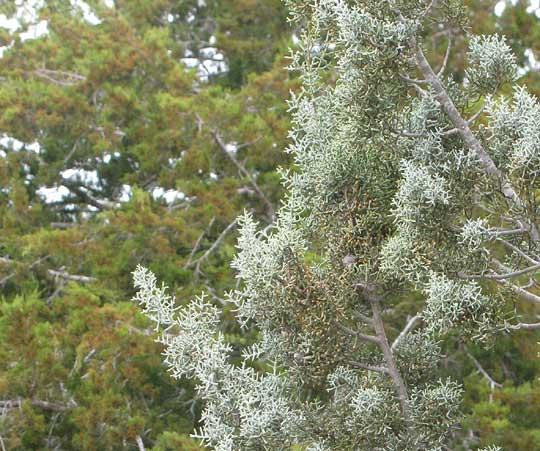 Arizona Blue Cypress Cupressus Arizonica Blue Pyramid